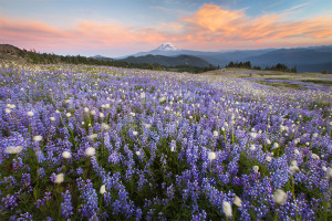 Wildflowers at sunset with Mt. Adams