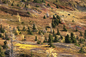 A grizzly struts along the colorful fall foliage of the Canadian Rockies