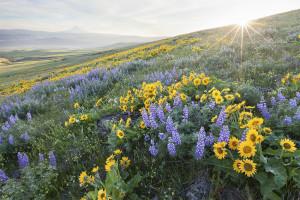Wildflowers, Sunburst, Field of Wildflowers, Dallas Mountain