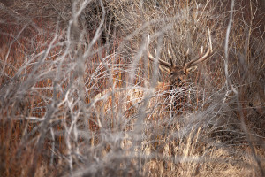 A bull elk peers out from a thicket