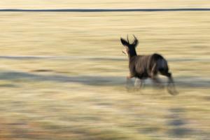 Running, Deer, Sprinting