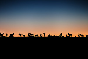 Elk, Colorado, Sunset, Magical, Deer, Herd