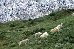 A group of mountain goats on a heather hillside about an Alaskan glacier