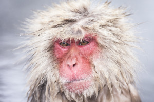 Bad Day, Bad Hair Day, Monkey, Snow Monkey, Japan, Flustered