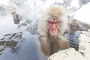 Japan, Monkey, Old Monkey, Snow Monkey, Hot Pool