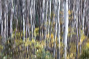 Shaking aspens near White Pass, Washington