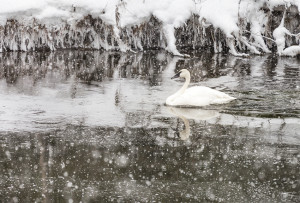 A swan peacefully paddles through a Yellowstone snowstorm