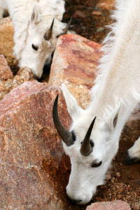 Mountain Goats, Colorado, Goats, Feeding