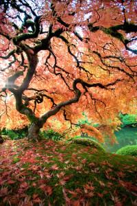 Japanese Maple, Japanese Gardens, Morning Light, Japan, Portland,